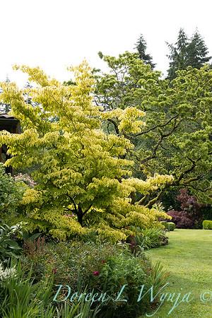 Cornus alternifolia Golden Shadows_6872