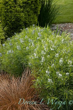 Amsonia hubrichtii - Carex flagellifera 'Toffee Twist'_6907