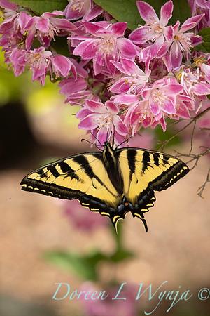 Deutzia × hybrida 'Strawberry Fields' with Papilio glaucus butterfly_6949
