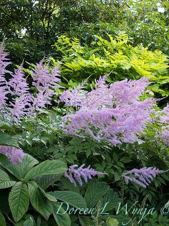 Astilbe arendsii 'Amethyst' - Rodgersia in the garden_6978