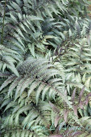 Athyrium niponicum 'Pewter Lace'_6853