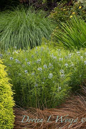 Amsonia hubrichtii - Carex flagellifera 'Toffee Twist'_6908