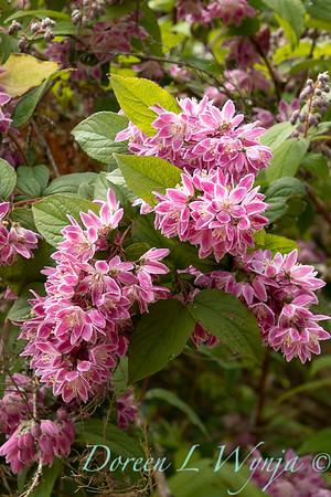 Deutzia × hybrida 'Strawberry Fields'_6933