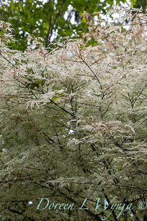 Acer palmatum 'Ukigumo'_6868