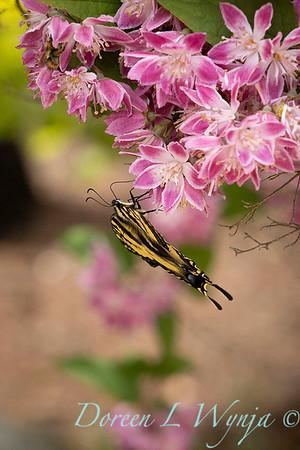 Deutzia × hybrida 'Strawberry Fields' with Papilio glaucus butterfly_6953