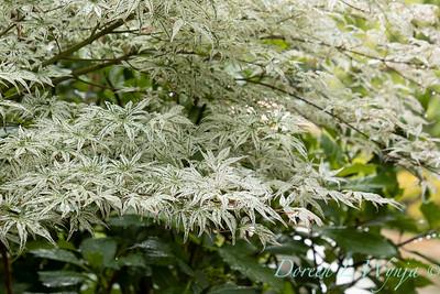 Acer palmatum 'Ukigumo'_6869