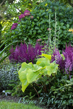 Astilbe chinensis 'Vision in Red' with Arisaema amurense landscape_6968