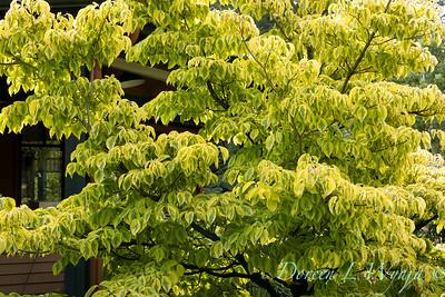Cornus alternifolia Golden Shadows_6875