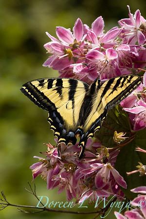 Deutzia × hybrida 'Strawberry Fields' with Papilio glaucus butterfly_6941