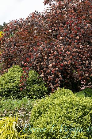 Cryptomeria japonica 'Globosa Nana' - Physocarpus opulifolius 'Monlo'_6893