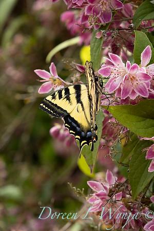 Deutzia × hybrida 'Strawberry Fields' with Papilio glaucus butterfly_6955