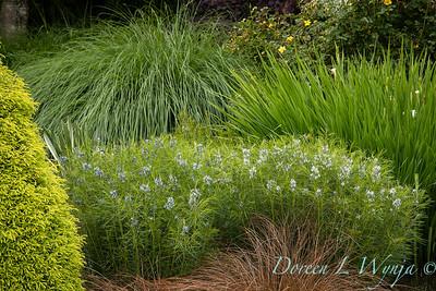 Amsonia hubrichtii in a landscape_6911