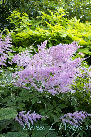 Astilbe arendsii 'Amethyst' in the garden_6979