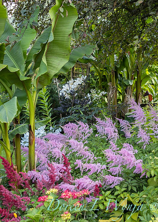 Astilbe arendsii 'Amethyst' - Musa basjoo in the garden_6977