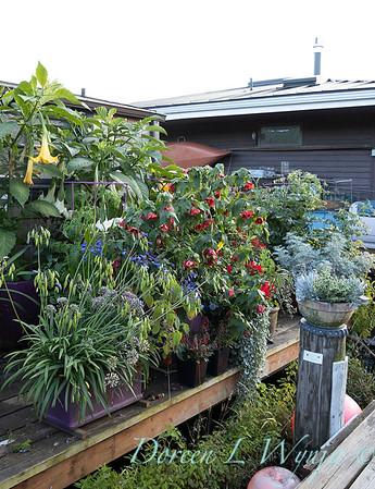 Bob Lily houseboat gardening_605