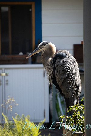 Ardea herodias great blue heron_1126