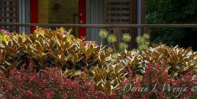 Rhododendron Cinnamon Bear - Berberis Crimson Pygmy_5838