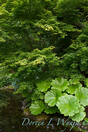 Darmera pelata - Acer palmatum_2138