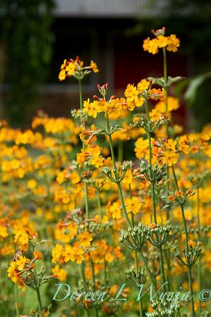 Primula chungensis_2156