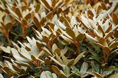 Rhododendron Cinnamon Bear_5844