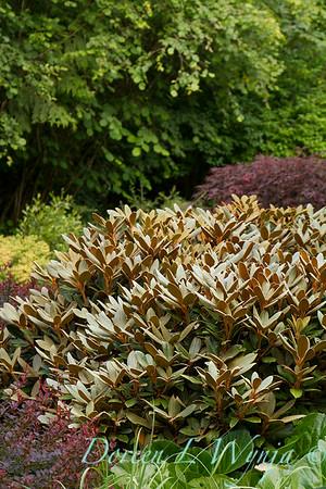 Rhododendron Cinnamon Bear_5841