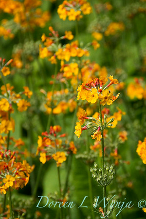 Primula chungensis_2160