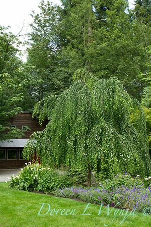 Cercidiphyllum japonicum Pendulum_2180