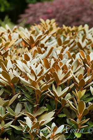 Rhododendron Cinnamon Bear_5848