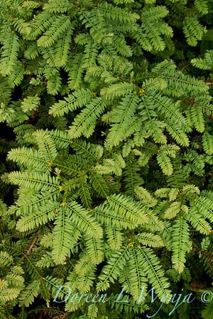 Sequoia sempervirens Cantab_003