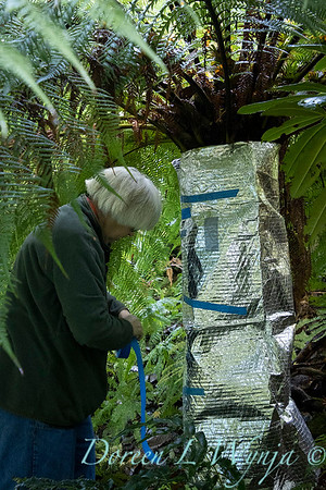 Dicksonia antarctica - Pat wrapping fern for winter_7013
