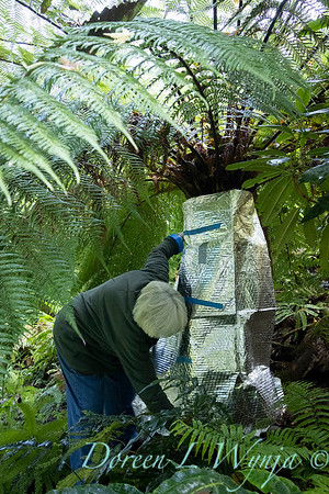 Dicksonia antarctica - Pat wrapping fern for winter_7010