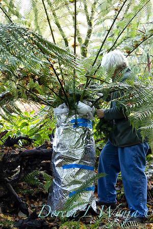 Dicksonia antarctica - Pat wrapping fern for winter_7111