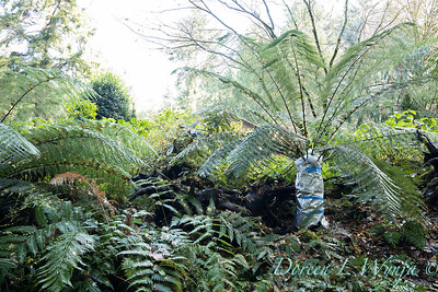Dicksonia antarctica - Pat wrapping fern for winter_7006
