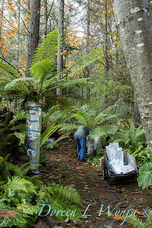 Dicksonia antarctica - Pat wrapping fern for winter_7046