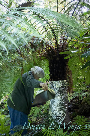Dicksonia antarctica - Pat wrapping fern for winter_7008