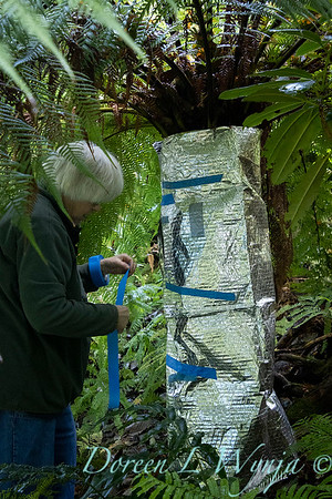 Dicksonia antarctica - Pat wrapping fern for winter_7015