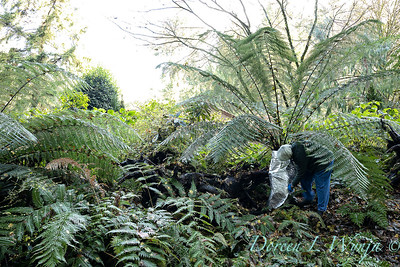 Dicksonia antarctica - Pat wrapping fern for winter_7113