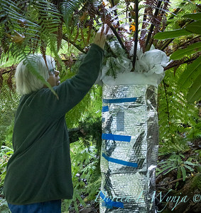 Dicksonia antarctica - Pat wrapping fern for winter_7030