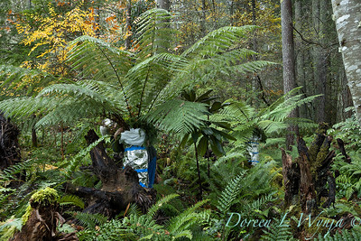 Dicksonia antarctica - Pat wrapping fern for winter_7108