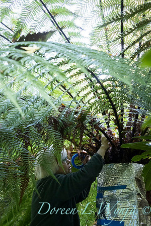 Dicksonia antarctica - Pat wrapping fern for winter_7018