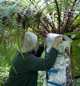 Dicksonia antarctica - Pat wrapping fern for winter_7025