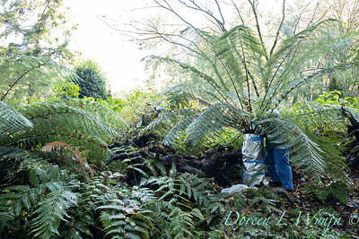 Dicksonia antarctica - Pat wrapping fern for winter_7003