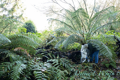 Dicksonia antarctica - Pat wrapping fern for winter_7002