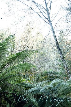 Dicksoni antarctica tree ferns_7081