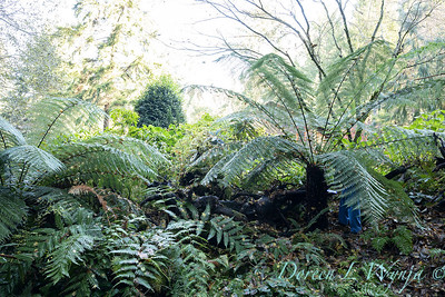 Dicksonia antarctica - Pat wrapping fern for winter_7000