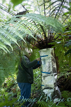 Dicksonia antarctica - Pat wrapping fern for winter_7012