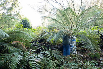 Dicksonia antarctica - Pat wrapping fern for winter_7004