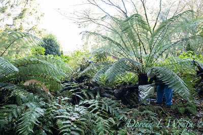 Dicksonia antarctica - Pat wrapping fern for winter_7001