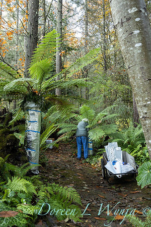 Dicksonia antarctica - Pat wrapping fern for winter_7048