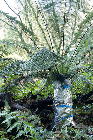 Dicksonia antarctica - Pat wrapping fern for winter_7007
